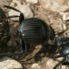Le scarabée sacre